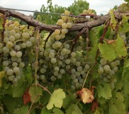 Sustainable Program for Grape Vines