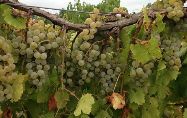 Sustainable Program for Grape Vines